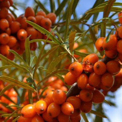 Nischen-Obst: Sanddornzweig mit reifen Früchten